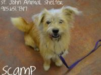 Wirehaired Terrier - Scamp - Medium - Adult - Male -