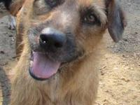 Wirehaired Terrier - Sugar - Medium - Adult - Female -