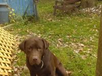 Chocolate lab 2 ur old with conditions of getting him