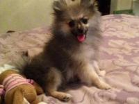 AKC WOLF SABLE MALE He is AKC registered Wolf Sable He