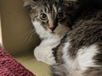Wolfie is a stunning medium hair tabby and white
