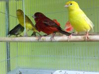 I have a dozen wonderful Canaries available NOW! Their