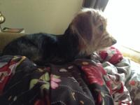 I need to find a loving home for 9 month old Dorkie