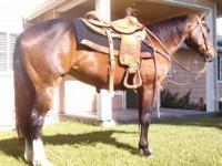 JACK APPLE IS A WONDERFUL 7YR 14.3HHS GELDING WALKS,