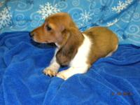 Beautiful red short hair Dachshund puppies will be