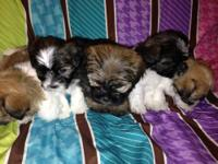 Sweet little Shorkie furbabies, 3 females and 2 males!