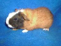 I have 2 male guinea pigs that are just adorable and
