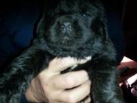 These are terrific Newfoundland puppies. The sire is