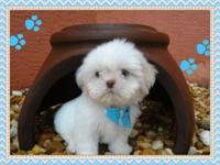 This puppy male shih Tzu. He has extraordinary white