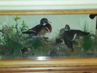 Beautiful wood duck family taxidermy in solid oak and