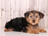 Woody is a very cute, sweet, ACA, Yorkie! These puppies