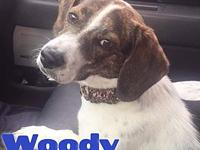 Woody's story Woody! Woody is a 1 year old, male,