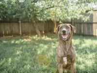 He is a almost 6 year old hound/lab mix. His family is