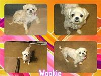 Wookie's story Wookie is a 9 1/2 year old Maltese/Shih
