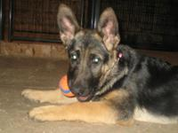 Kia is a stunning 17 week old AKC german shepherd with