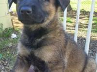 Working dogs for sale Belgian malinois, german