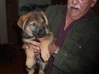 Gorgeous Sable Male German Shepherd, Whelped 2-26-2012