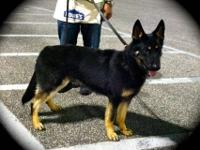 AKC reg Working line male. His sire has his Sch III,