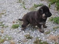AKC German Shepherd puppies. These are beautiful