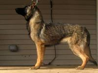 I have a female GSD pup she is 5 months old and is a