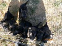 3F dark sable and AKC registered. Parents are imports