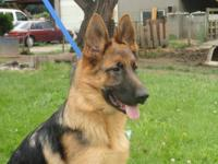 Beautiful German shepherd female for sale  6 months