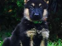 World Class AKC Red/Black Male German Shepherd Puppy. I