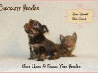 WOW! Teacup Chocolate Yorkies Prices from $900 to