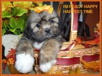 Female shih tzu. of very rare brindle color, it does