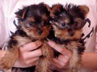 we have two Yorkie puppies for adoption .they are house