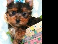 You wont believe how tiny and sweet our Yorkie puppies