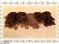 WOW!!! Very Rare AKC T-Cup Yorkies (Isabella Chocolate