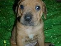 I have a male and female cute as a button Bull-mastiff