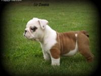 AKC champ bloodline, rare and conventional colored