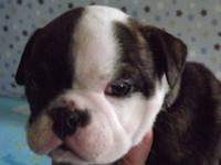 WTA English Bulldog puppy, preferably a female with