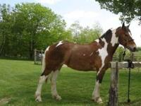 I have a North American Spotted Draft mare that I would
