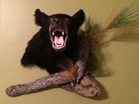 Really great taxidermy piece. WV black bear. Just