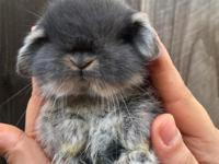 Extremely rare Fuzzy American Lop Blue eyed white baby