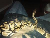 I want to trade my ball python which is two years old