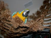 Two Beautiful blue and gold macaws ready to go. they