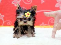 Gorgeous little micro teacup female and males Teacup
