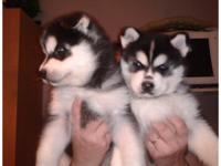 Our beautiful Siberian Husky pups just turned 14 weeks