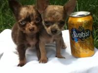 Extremely Tiny Micro size chihuahua males.They have