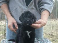 Want a LARGE Shaggy MIX to love?? SAINT BERDOODLE Mom-