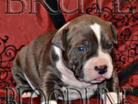 Blue xl bully pitbull young puppy with heavy ti color
