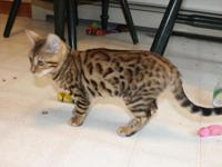 We have 3 Bengal Kittens 12 weeks old . We Sell our