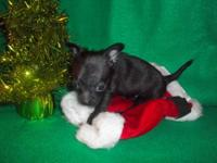 XMAS GIFTS--Chihuahua TEACUP Puppies, READY DEC.3rd