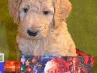 Beautiful STANDARD POODLE PUPPIES Red male puppy Born: