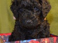 Beautiful STANDARD POODLE PUPPIES Black Female puppy