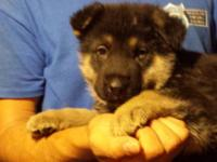 your Xmas German shepherd puppy. Now taking $100